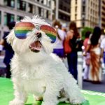 Small white dog wearing gay pride colorful sunglasses outdoors.